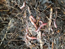 Red Wigglers 1 pound $58.00