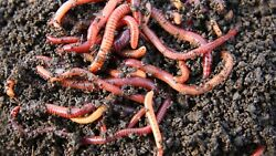 500 count red wiggler worms compost worms $65.00