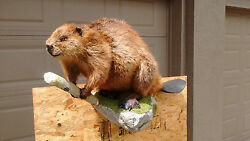 Life-Size Beaver Wall Mount
