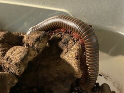 """4 Live North American Millipedes. Adult Millipedes Around 2"""" Long. For Education $39.95"""