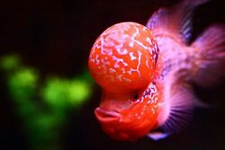 #2.ASK FOR BEST PRICE MUSHROOM RED WORMS PEARLS HEAD SRD 4.5quot; AAAA $245.00