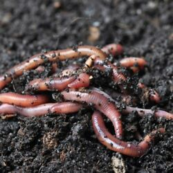 Worm Zoo 5 Worm Types in 1 16 OZ Package w Nematodes Cocoons Small Worms Guide $14.97