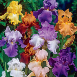 Bearded Iris mixed colors 5 bulbs $9.00