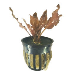 BUY 2 GET 1 FREE Crypt Cryptocoryne Wendtii Red Live Aquarium Plant Potted $9.95