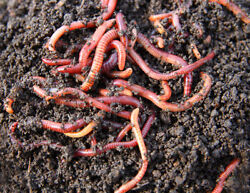 250 Live Baby Red Wiggler Worms for Composting Fish Lizard or Turtle Food $22.99