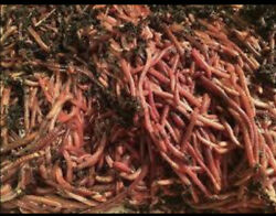 Red Wiggler Compost And Bait Worms $25.00