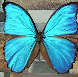 REAL morpho FRAMED BUTTERFLY mounted swallowtail MOUNTED SHADOWBOX ART INSECT $36.00