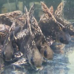 5quot; Chinese Hi Fin Banded Sharks Myxocyprinus Asiaticus Live Tropical Pond Fish $52.00