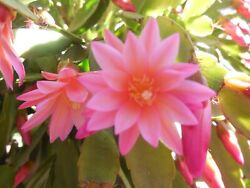 Easter Cactus DAWN rare 2 6quot; cuttings unrooted Pink light orange $20.00