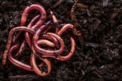 Red Wiggler Composting Worms 250 thru 2000 ct available $19.99