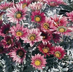30 TALENT RED SHADES GAZANIA FLOWER SEEDS DROUGHT TOLERANT GROUND COVER $4.89