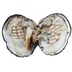 10-20 Pearls Inside Freshwater Cultured Love Wish Pearl Oyster US Stock