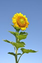 METAL FRIDGE MAGNET Large Sunflower Reaching Toward Blue Sky Flower Flowers $4.59