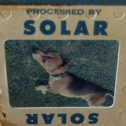 Vintage Beagle Dog 35mm Slide Laying In Grass Solar Mid Century America $9.99