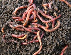 Live Red Wiggler Compost Worms; 50 worms; start your own compost $15.00