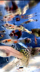 5 1 for DOA Assorted Fancy Guppy Males amp; Females $17.99