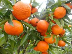 MANDARIN TANGERINE ORANGE FRUIT TREE REAL LIVE PLANT 1#x27;#x27; to 5#x27;#x27;