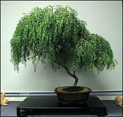 Bonsai Tree Dwarf Weeping Willow Live Plant Indoor $20.95