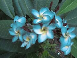 quot;BLUE HAWAIIquot; FRAGRANCE PLUMERIA HEALTHY CUTTING WITH ROOT 7 12 INCH $9.99