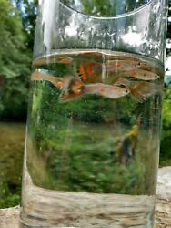 5 Fancy male Guppies 3 special deal 1 week only $10.00