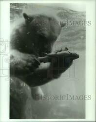 Press Photo Gus Polar Bear at Central Park Zoo Underwater with Piece of Fish $14.99
