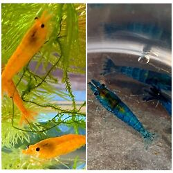 5 Dream Blue 5 Orange Sakura Shrimp 1 DOA of each color From Thailand
