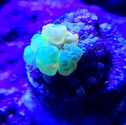 WYSIWYG Og Bounce Mushroom Live Coral LPS #x27;THE REEF ISLAND OF NY#x27; SPS ZOA $599.99