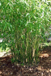 Green Hedge Clumping Bambusa Bamboo 1 Value Priced Division Rhizome Plant $29.99