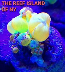 WYSIWYG Og Bounce Mushroom Live Coral LPS #x27;THE REEF ISLAND OF NY#x27; SPS ZOA $550.99
