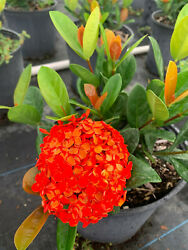 Ixora Maui Red LIVE 2quot; to 4quot; $3.50