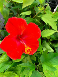 Hibiscus *President#x27;s Red* LIVE 5quot; to 7quot; $3.99