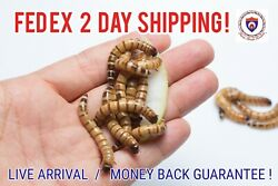 Live Superworms - Organically Raised - ALL SIZES  ALL COUNTS!  Free Shipping!