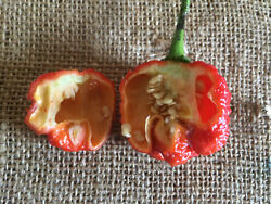100 Dragons Breath Chili Pepper Seeds New World Record Hot Peppers Seed