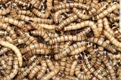 """100 Medium Live Superworms 1"""" To 1 1 2"""" LIVE ARRIVAL 5% Overstock in all Orders $15.99"""