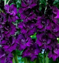 10 Deep Purple Flowers Gladiolus Large Flower Bulbs Perennial Outside Plant $11.99