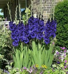 Blue Violet Purple Gladiolus Large Flowering Perennial Bulbs Seeds Pot Tall  $11.99