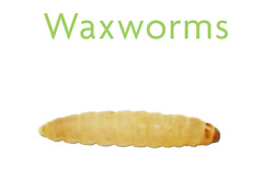 Live Wax Worms for Fishing Pet Food 50 to 1000 FREE DELIVERY $19.00