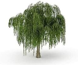 Dwarf Weeping Willow Tree Thick Trunk Cutting Exotic Bonsai Material $16.29