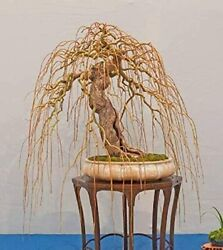 Rare Golden Curls Willow Tree Cutting Live Tree Plant Excellent Bonsai $15.98