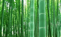 Rare Fresh Giant Bamboo Seeds Grow Giant Bamboo Ships from Iowa USA $9.98