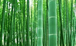 Rare Black Bamboo Seeds for Planting 50 Seeds Ships from Iowa USA $9.98