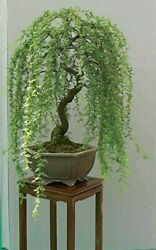 Bonsai Green Weeping Willow Tree Cutting Thick Trunk Start A Must Have Dwarf $12.09
