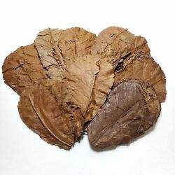 250 Indian Catappa  Almond Leaves 5