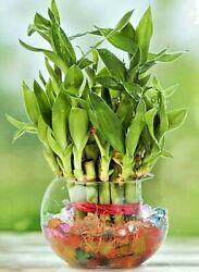 Lucky Bamboo 8 Stalks 4quot; Long Nice Water Plant for Feng Shui or GIFT $9.95