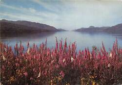 uk43888 fox gloves at loch ness inverness shire scotland uk GBP 6.00