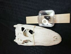 🐊 Alligator skull 6 to 8 in small with fossil alligators tooth both real $35.00