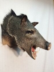 Brand new JavelinaCollared Peccary Hog Wild boar Taxidermy Home Cabin Decor.