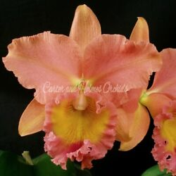 POT. GOLDERNELL 'SOUTHERN CROSS' - Standard - Extremely Fragrant - Peach