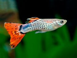 5 Male Fancy Guppies Assorted Colors Great Fish For Kids amp; Adults Colorado $9.99