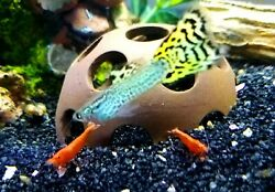 3 Male Cobra Guppies Great Fish For Kids amp; Adults Colorado $8.99